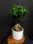 FİCUS BONSAİ GRAND