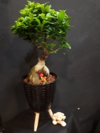 BONSAİ FİCUS LARGE
